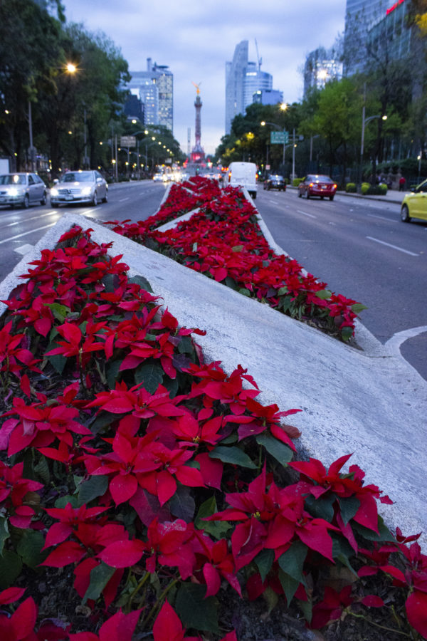 Where Do Poinsettias Get Their Name Idiomatics Blog